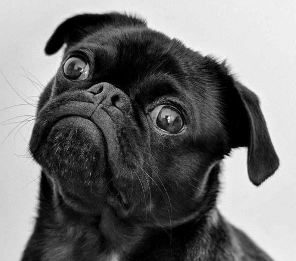 adult black pug